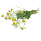 Chamomile Roman Absolute